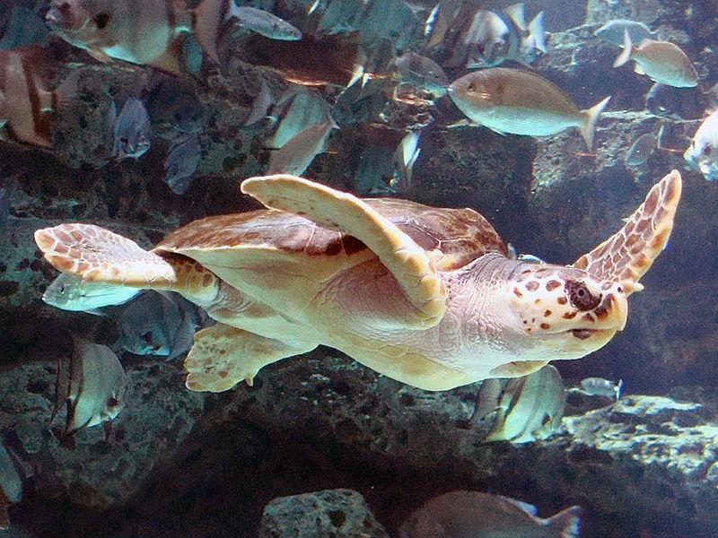 800px-Loggerhead_Sea_Turtle