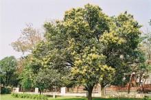 800px-Mango_blossoms