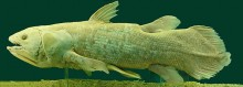 800px-Latimeria_Chalumnae_-_Coelacanth_-_NHMW