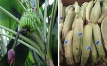 Bananas_plantains