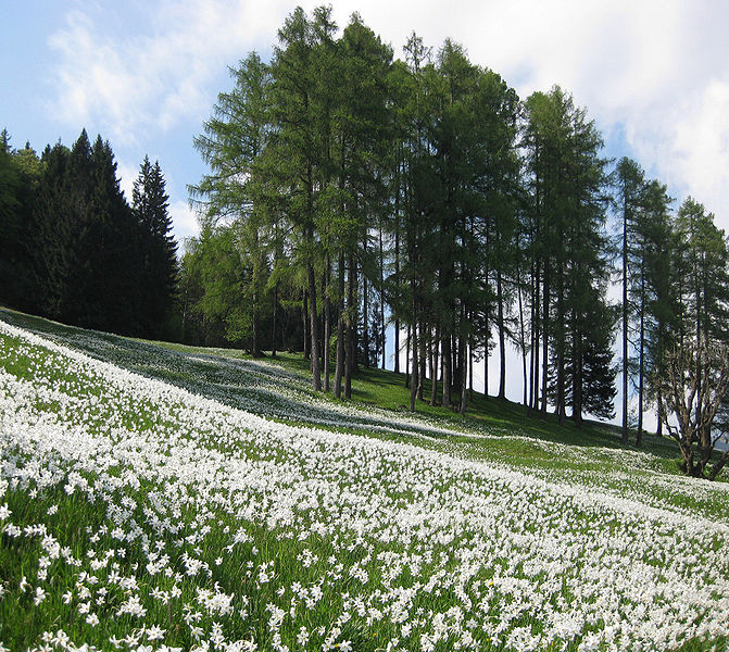 Daffodils at Golica near Jesenice, Slovenia. Photo by Sl-Ziga.