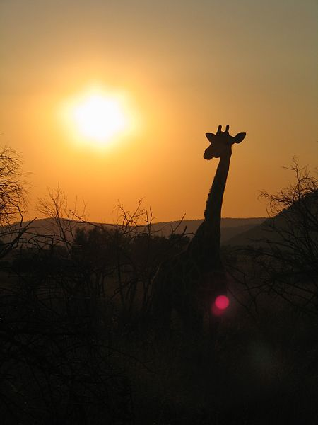 Giraffe at dawn in Pilanesberg National Park, South Africa. Photo by Joonas Lyytinen.