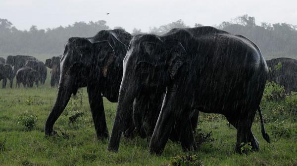 Sri Lankan elephants roaming in the Kaudulla National Park. Photo by Christophe Meneboeuf ( http://www.pixinn.net)