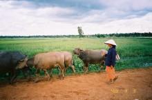 Water buffalos in Thailand. Photo by Torikai Yukihiro