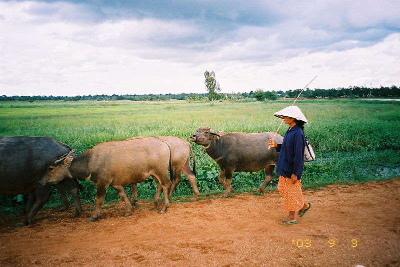 Water buffalos in Thailand. Photo by Torikai Yukihiro