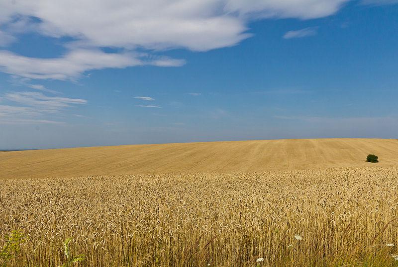 Wheat fields in Midsummer in Ukraine, Oblast Lviv-by Raimond Spekking