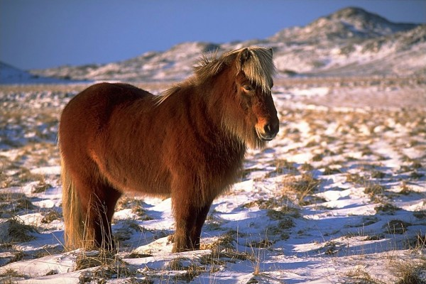 An Icelandic horse near Krýsuvík. Photo by Andreas Tille.