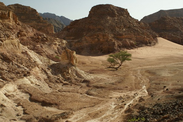 Looking down into a wadi on the Sinai Peninsula, Egypt. A tree of an unidentified species of Acacia (possibly Acacia tortilis) grows even in this arid environment. Photo by Florian Prischl.