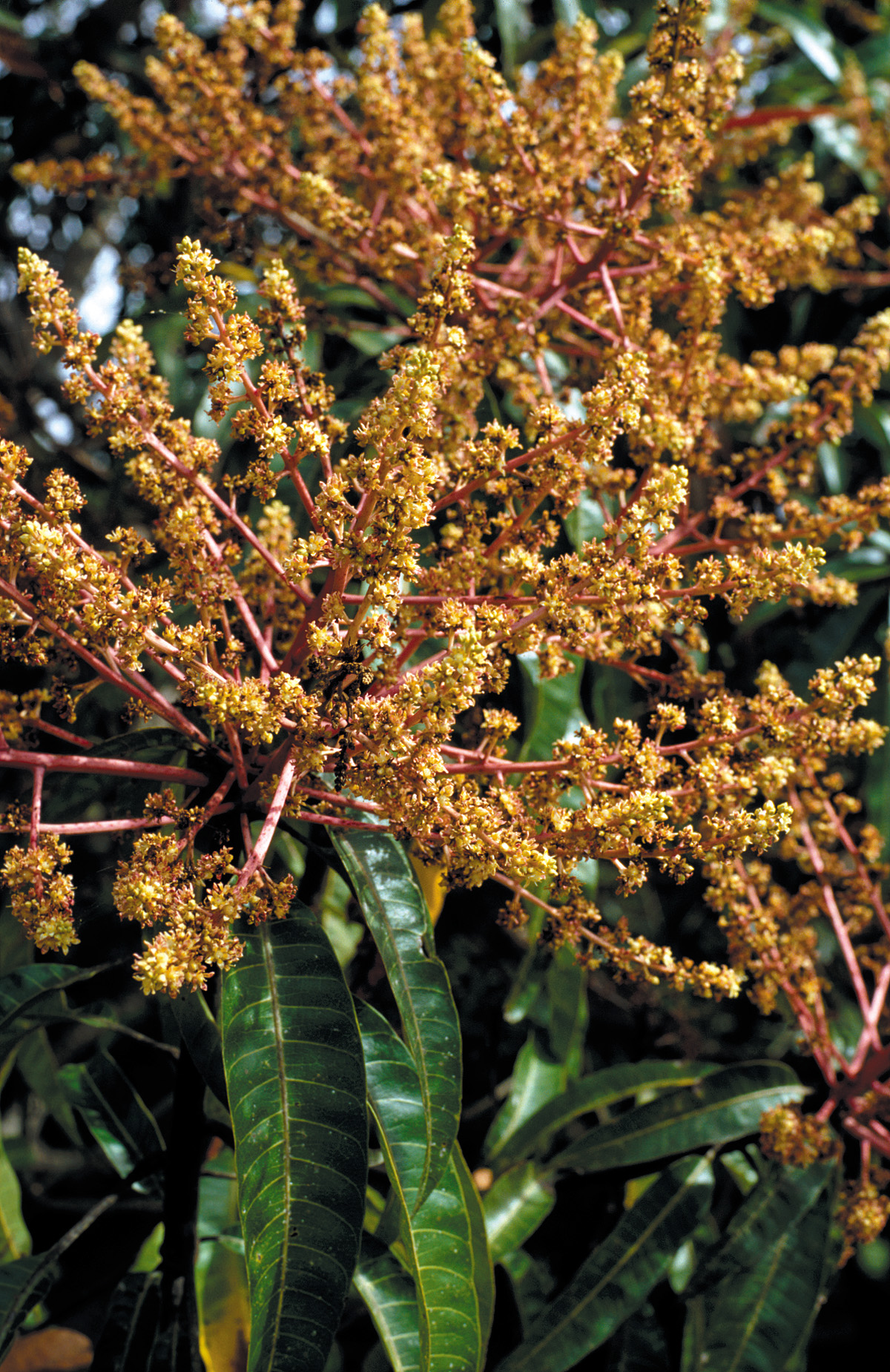: Closeup view of mango tree flowers, Cardwell. QLD. Date26 July 2007 Sourcehttp://www.scienceimage.csiro.au/image/3706 AuthorWillem van Aken, CSIRO