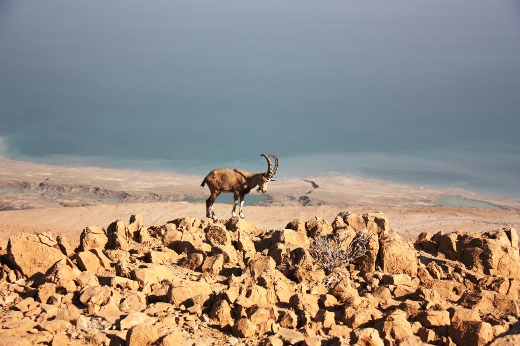 Israeli mountain goat by Sigal Ben Amram.